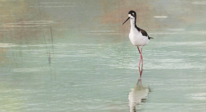 Stilt in the Rain - Kealia Pond, Maui